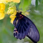 ナガサキアゲハの幼虫!その特徴や大きさについて!