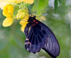 幼虫 ナガサキアゲハ 特徴
