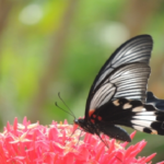 ナガサキアゲハの幼虫!羽化までの日数や時間について!