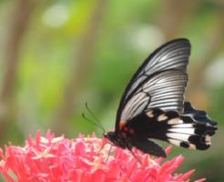 幼虫 ナガサキアゲハ 羽化 日数