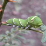 アゲハ蝶の青虫!その種類について!