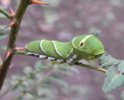 青虫 種類 アゲハ