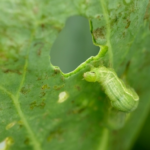 野菜に発生する青虫!その駆除方法について!