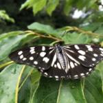 ゴマダラチョウの幼虫の脱皮の様子について