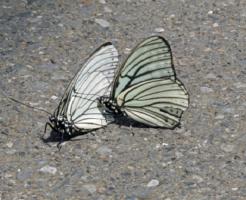 幼虫 ゴマダラチョウ 色