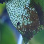 チャドクガの幼虫の毛にある毒とは!?