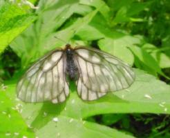 幼虫 ウスバシロチョウ 毒