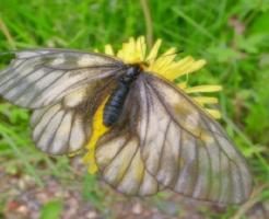 幼虫 ウスバシロチョウ 餌