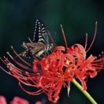 ナミアゲハの幼虫の飼育方法!餌のあげ方について