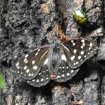 オオムラサキの幼虫の飼育や餌について