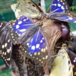 オオムラサキの幼虫の採集方法!時期はいつがベスト?