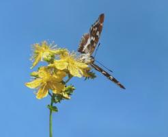 幼虫 オオムラサキ 越冬
