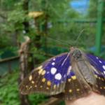 オオムラサキの幼虫から羽化までについて。時間や時期は?