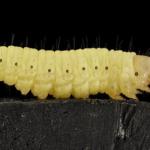 蛾の青虫の種類の一覧まとめ